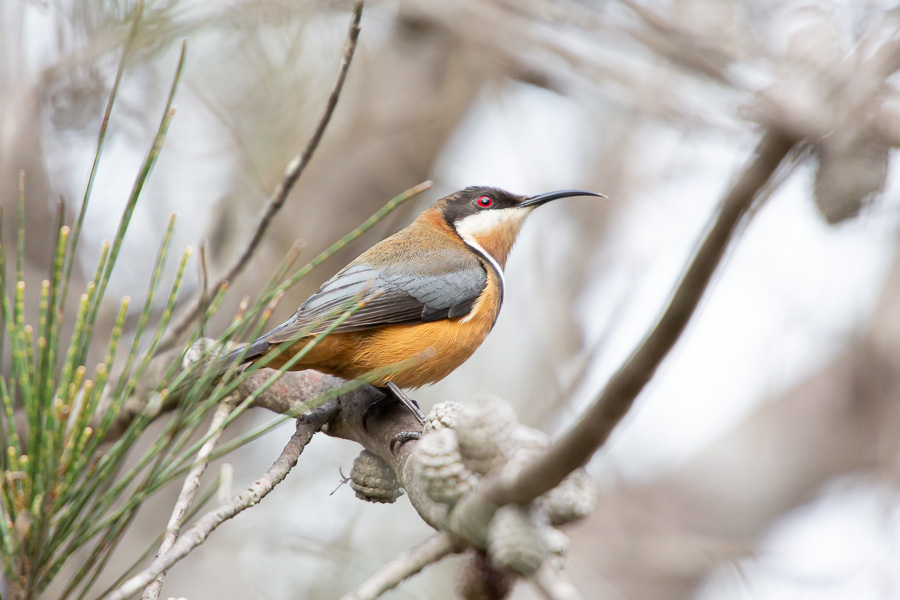 Bird Photography Tour - Capertee Valley